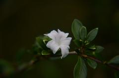 香丁木 小さい小さい花です