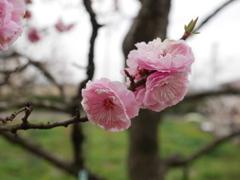 散り際の梅(1)