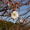 梅 咲き始め