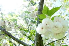 八重桜二重奏