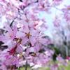 一画だけ満開枝垂桜