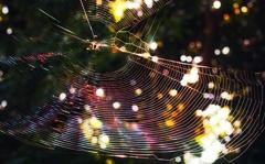 朝日を浴びたクモの巣