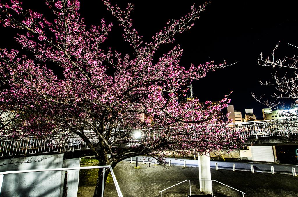 気の早い桜