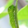 アゲハ幼虫