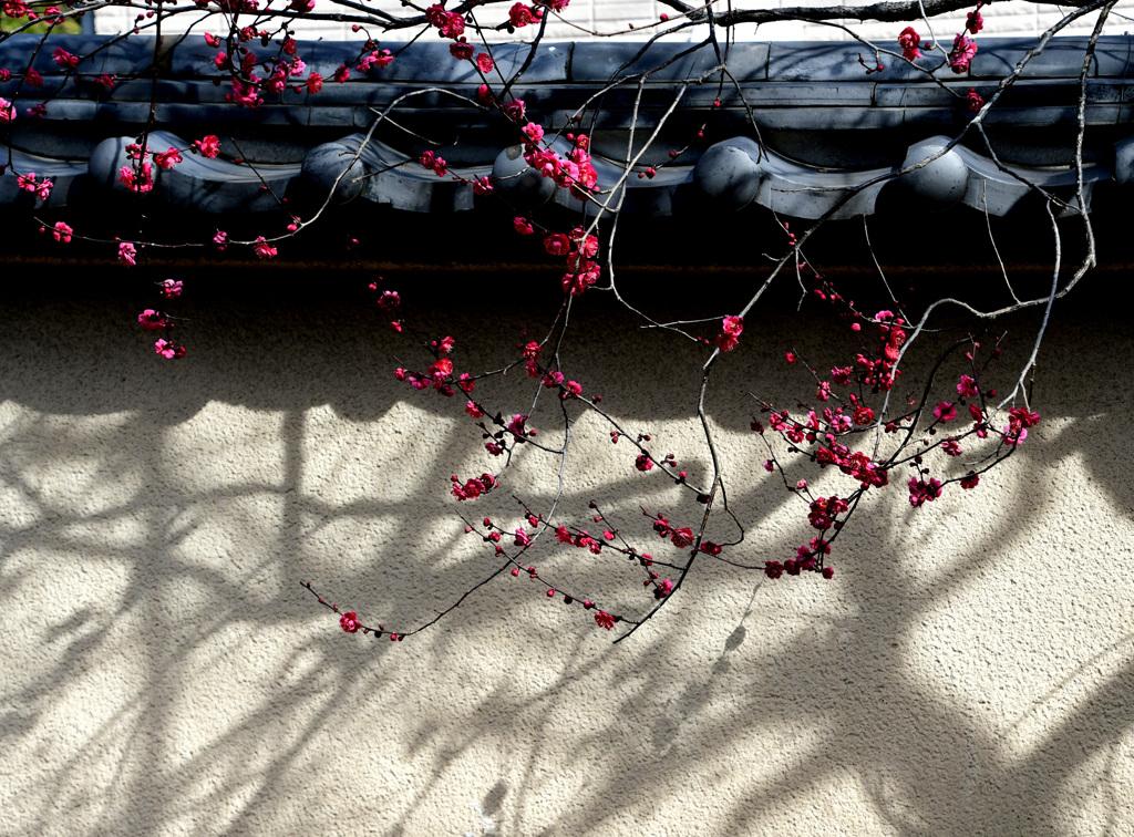 塀に梅の影