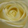日持ちがするクリームのバラ