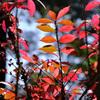 紅葉するニシキギ