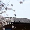 アオサギと散る桜