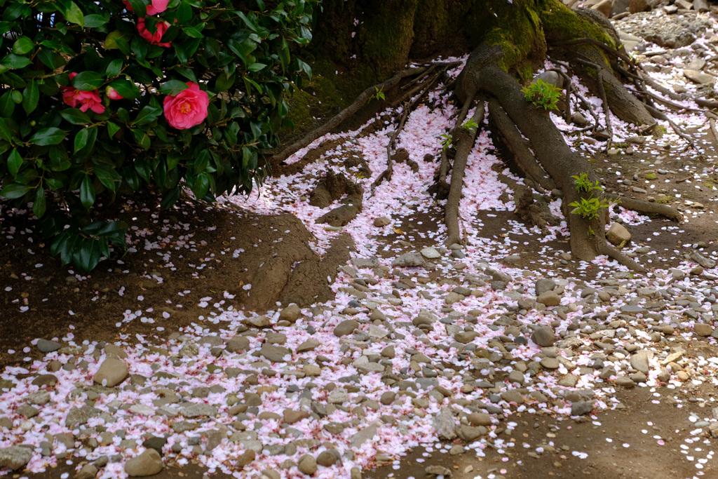 散り桜と椿