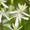 センニンソウの花はこれ
