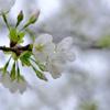 オオシマザクラ咲き始め