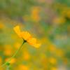 夢見る黄花
