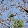 桜アオサギ