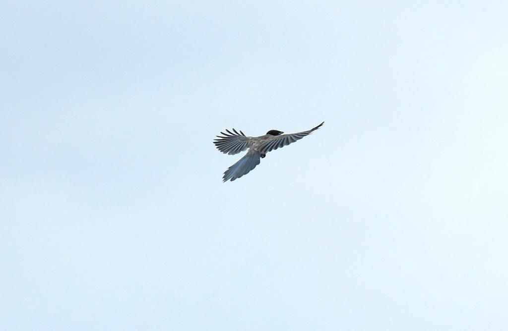 飛ぶ幼鳥2