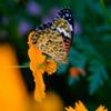 黄花ツマグロ1