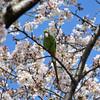 桜ワカケホンセイインコ2