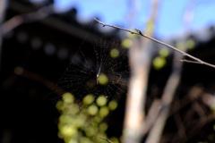 ヒュウガミズキに蜘蛛の巣