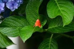 タコと紫陽花