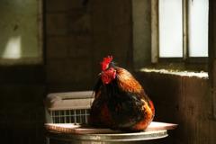 鎮座する鶏