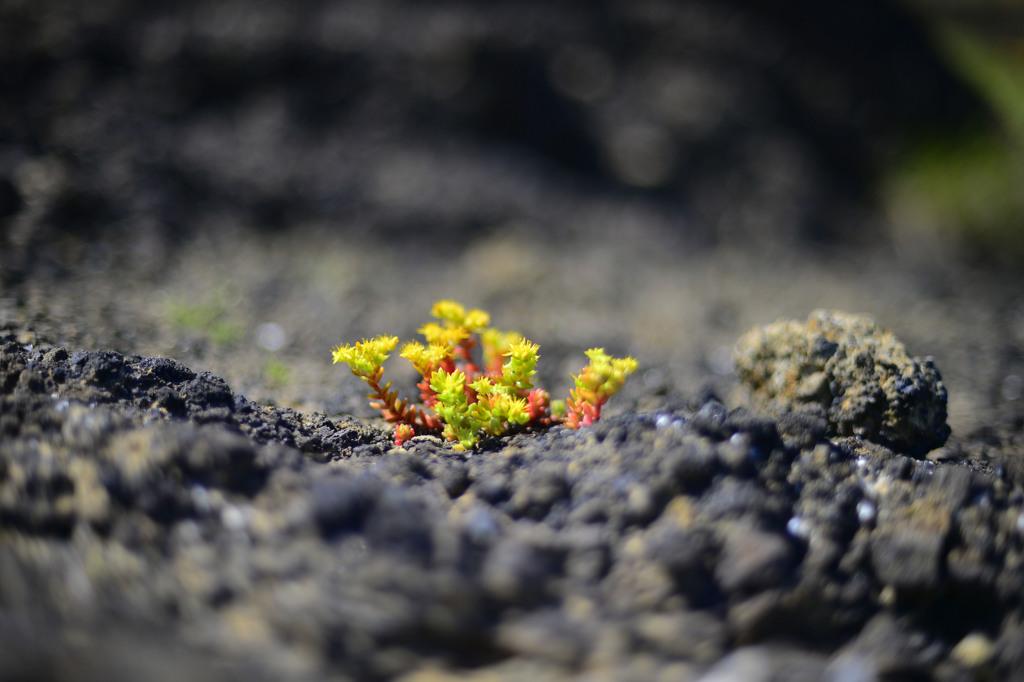 岩隙間から咲く