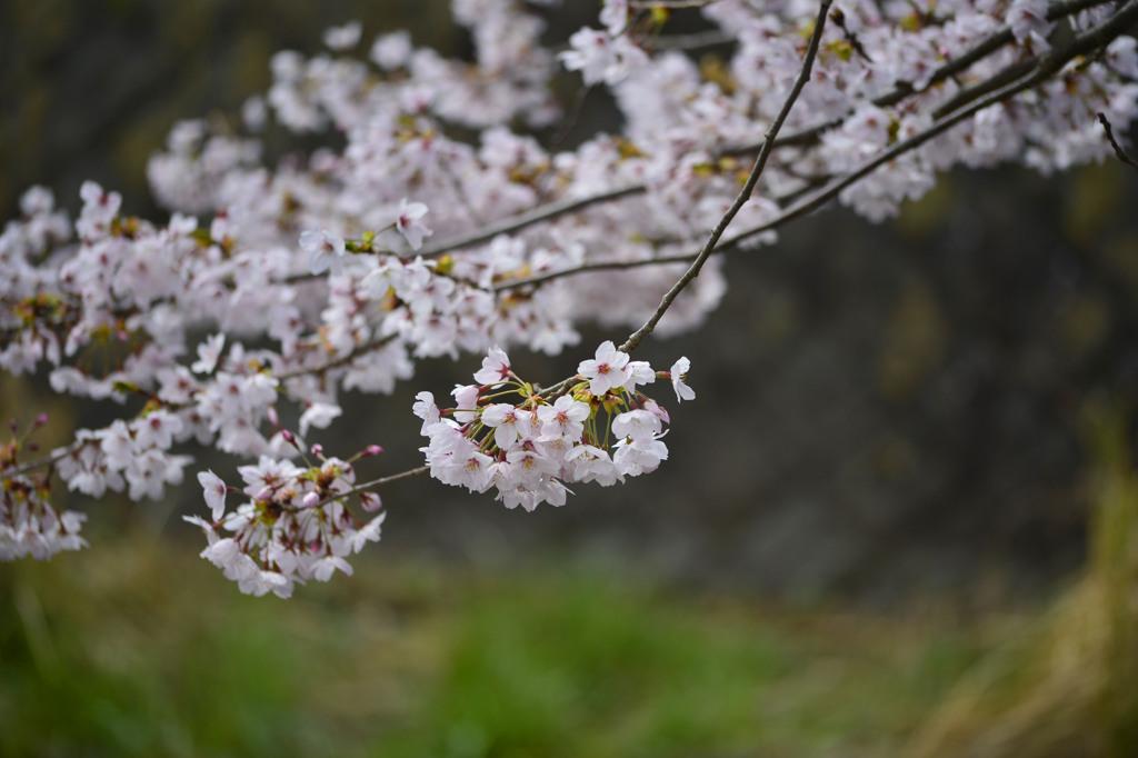 真野公園の桜