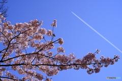 飛行機雲と桜