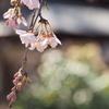 風に揺らぐしだれ桜