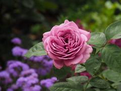 遅咲きの薔薇
