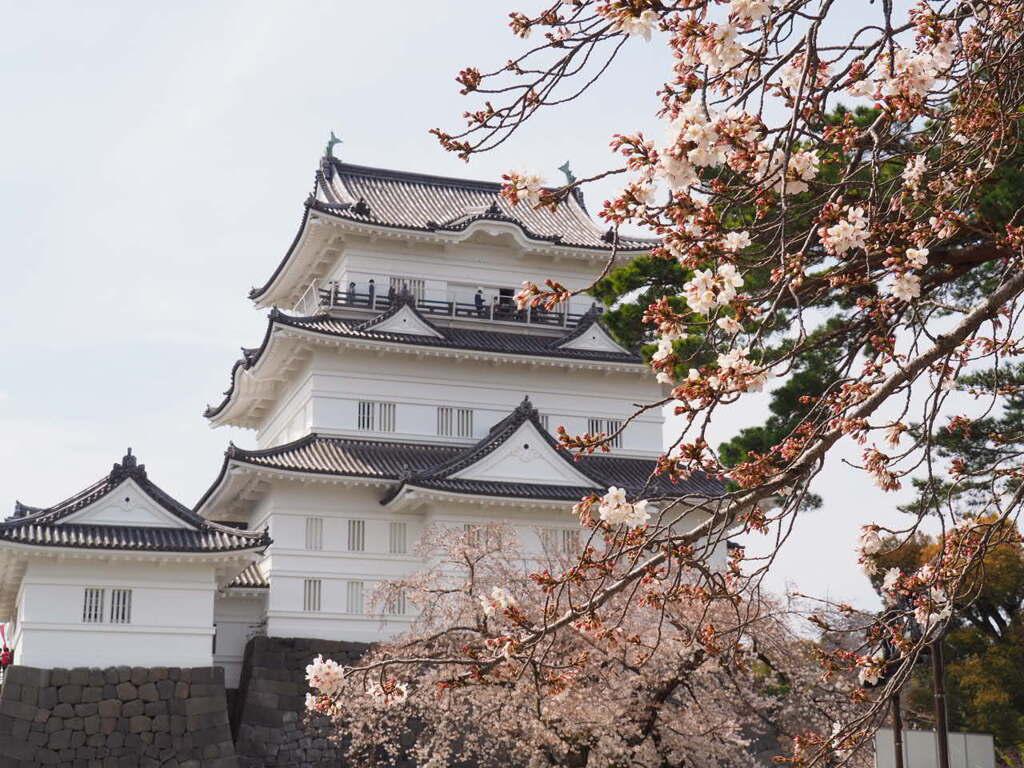 桜と松の競演