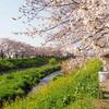 桜と菜の花のんびり散策
