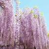 藤の花のカーテン