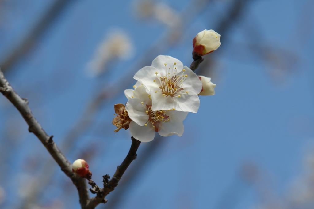 春が来た 梅1