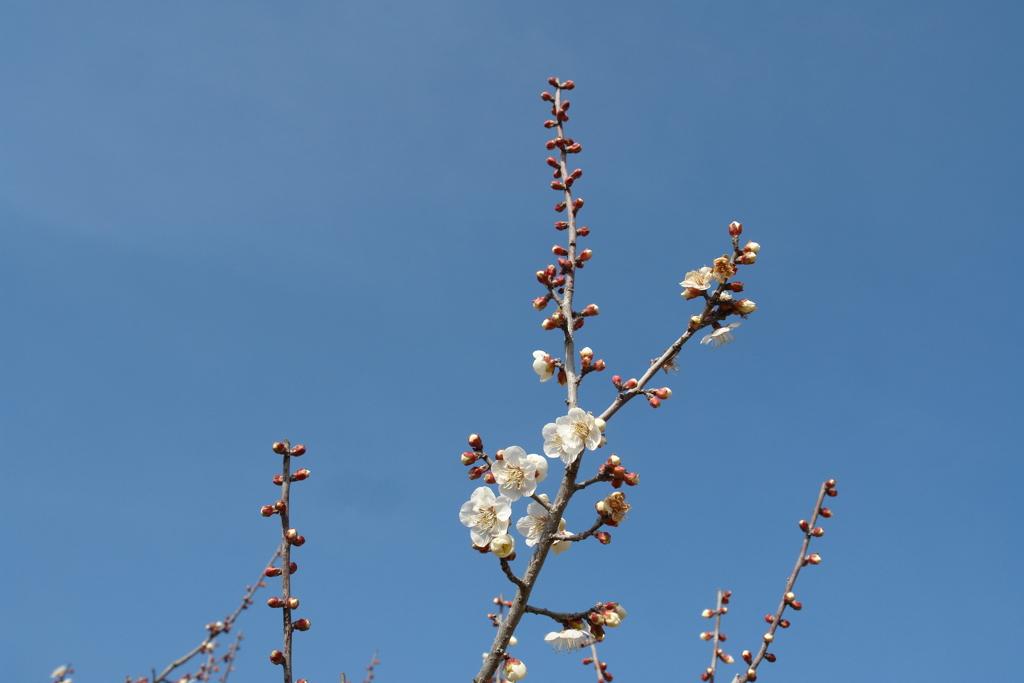春が来た 梅2