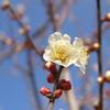 春が来た 梅4