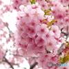 三月二十日曇り 河津桜3