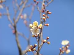 春が来た 梅5