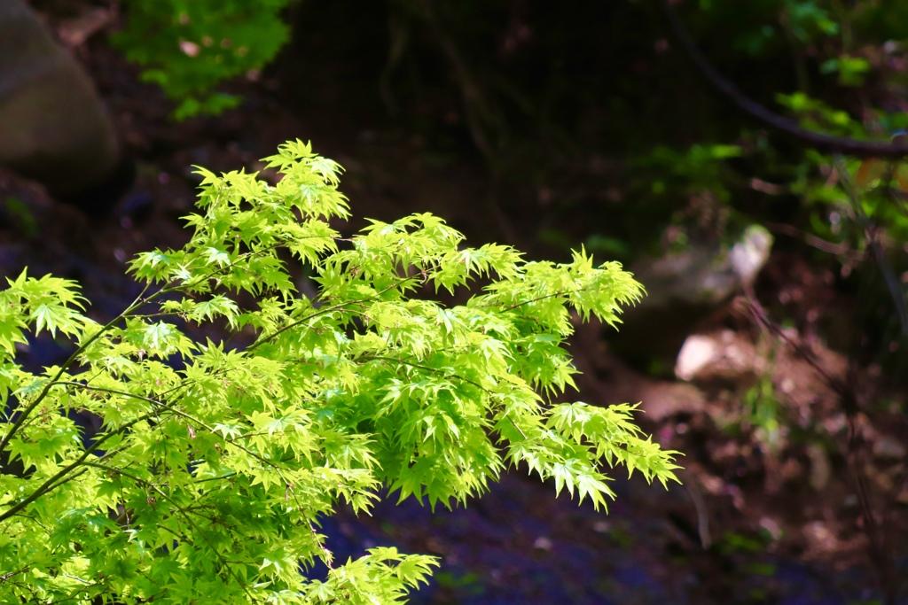 新緑の紅葉川①