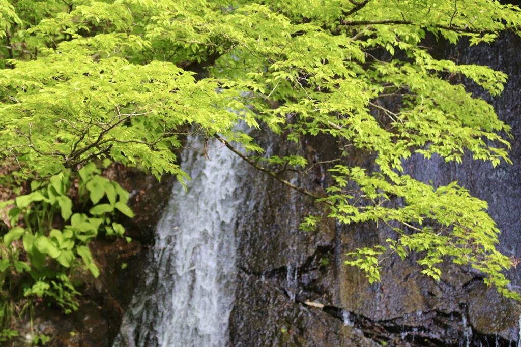 新緑の紅葉川③