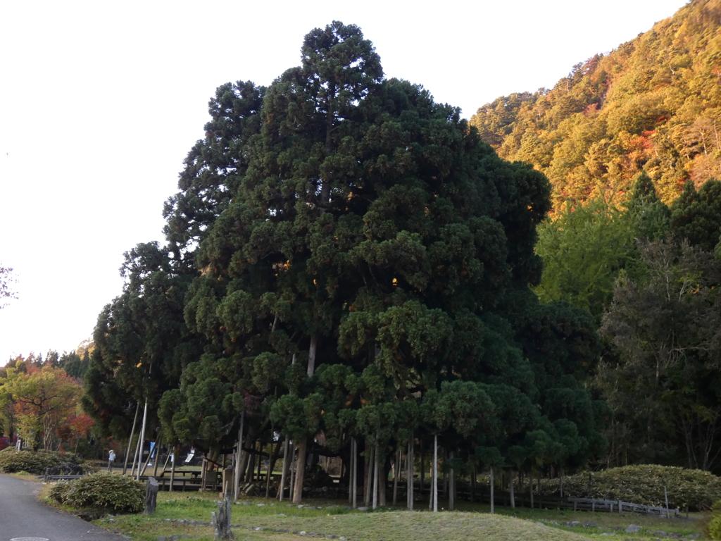 樹齢600余年は何を見てきたのか