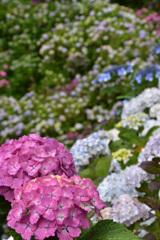 紫陽花の谷