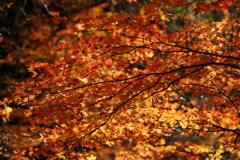 徳島 祖谷の紅葉。