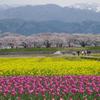 チューリップ 菜の花 桜