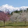 桜が剱岳を春へといざなう