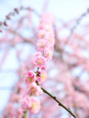 春の数珠つなぎ