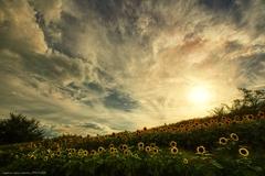 夕陽を背に 向日葵畑