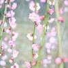 梅の小花の連なり