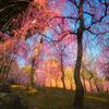 枝垂れ梅の園