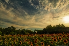 向日葵と夏の思い出