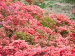 ヤマツツジ咲きそろう高原