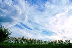 夏日 向日葵